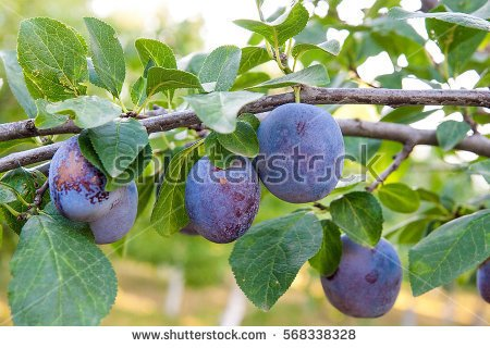 stock-photo-close-up-of-the-plums-ripe-on-branch-ripe-plums-on-a-tree-branch-in-the-orchard-view-of-fresh-568338328